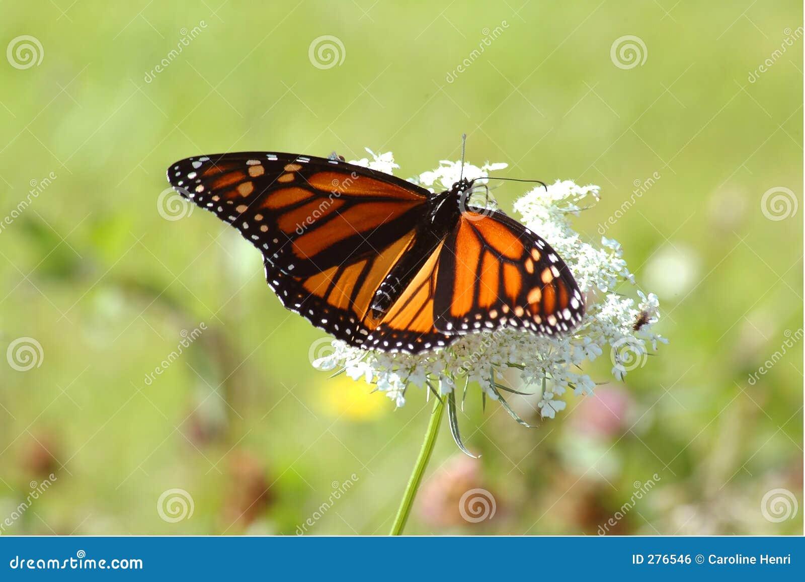 белизна монарха цветка