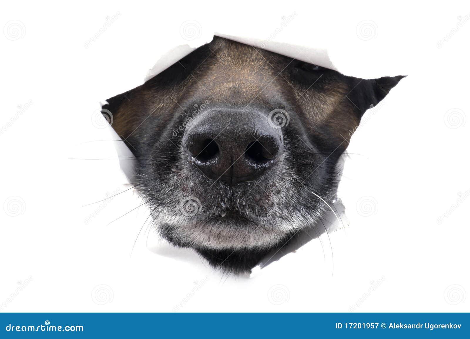 белизна намордника собаки