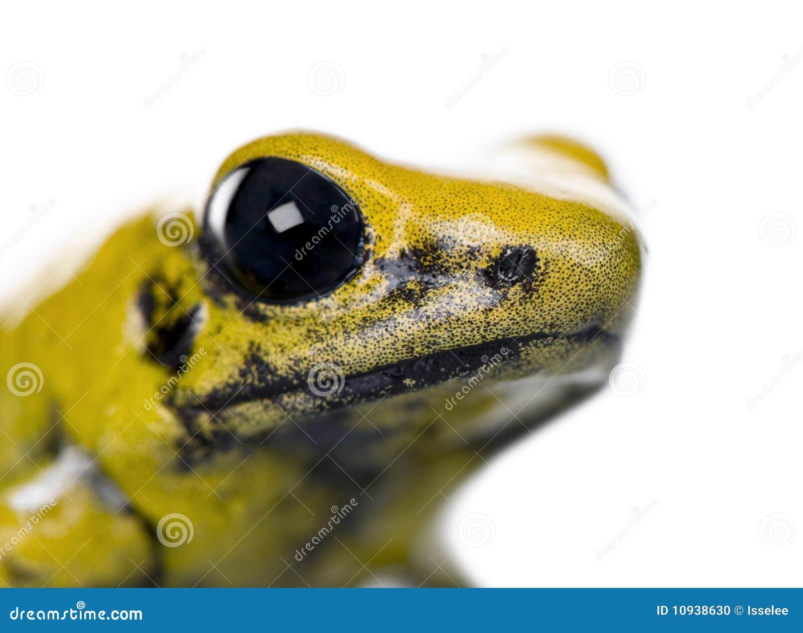 белизна отравы фронта лягушки предпосылки золотистая