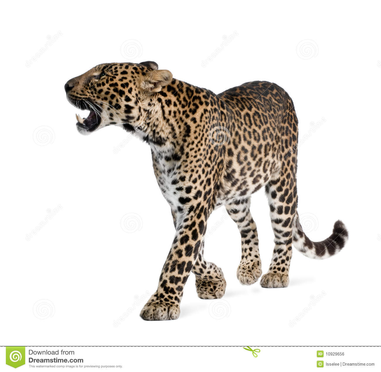 белизна переднего леопарда предпосылки гуляя