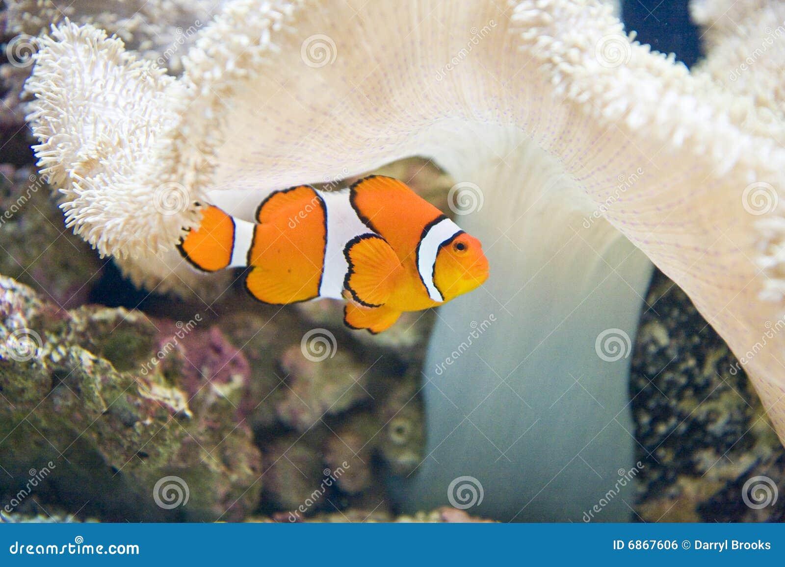белизна рыб коралла клоуна