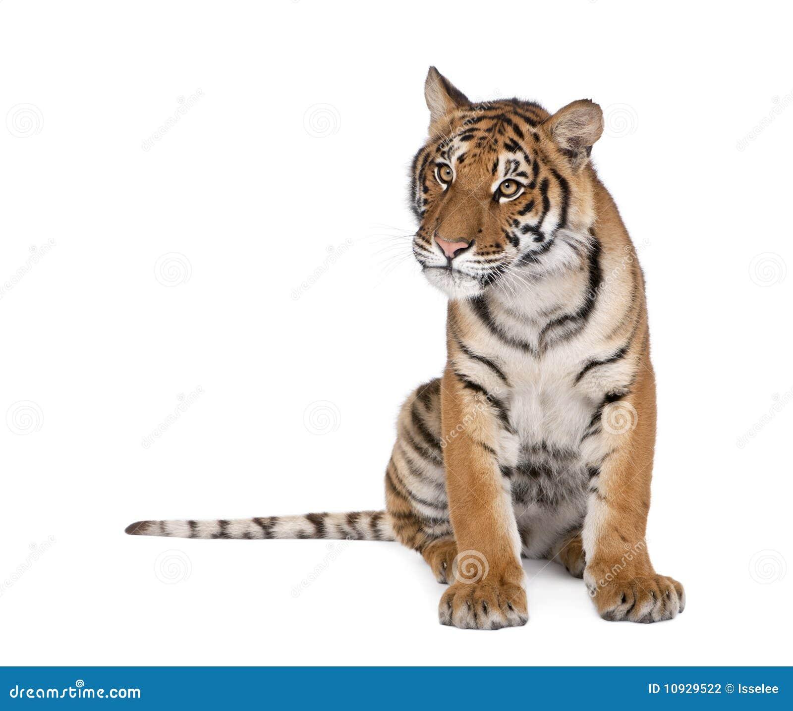 белизна тигра Бенгалии предпосылки передняя