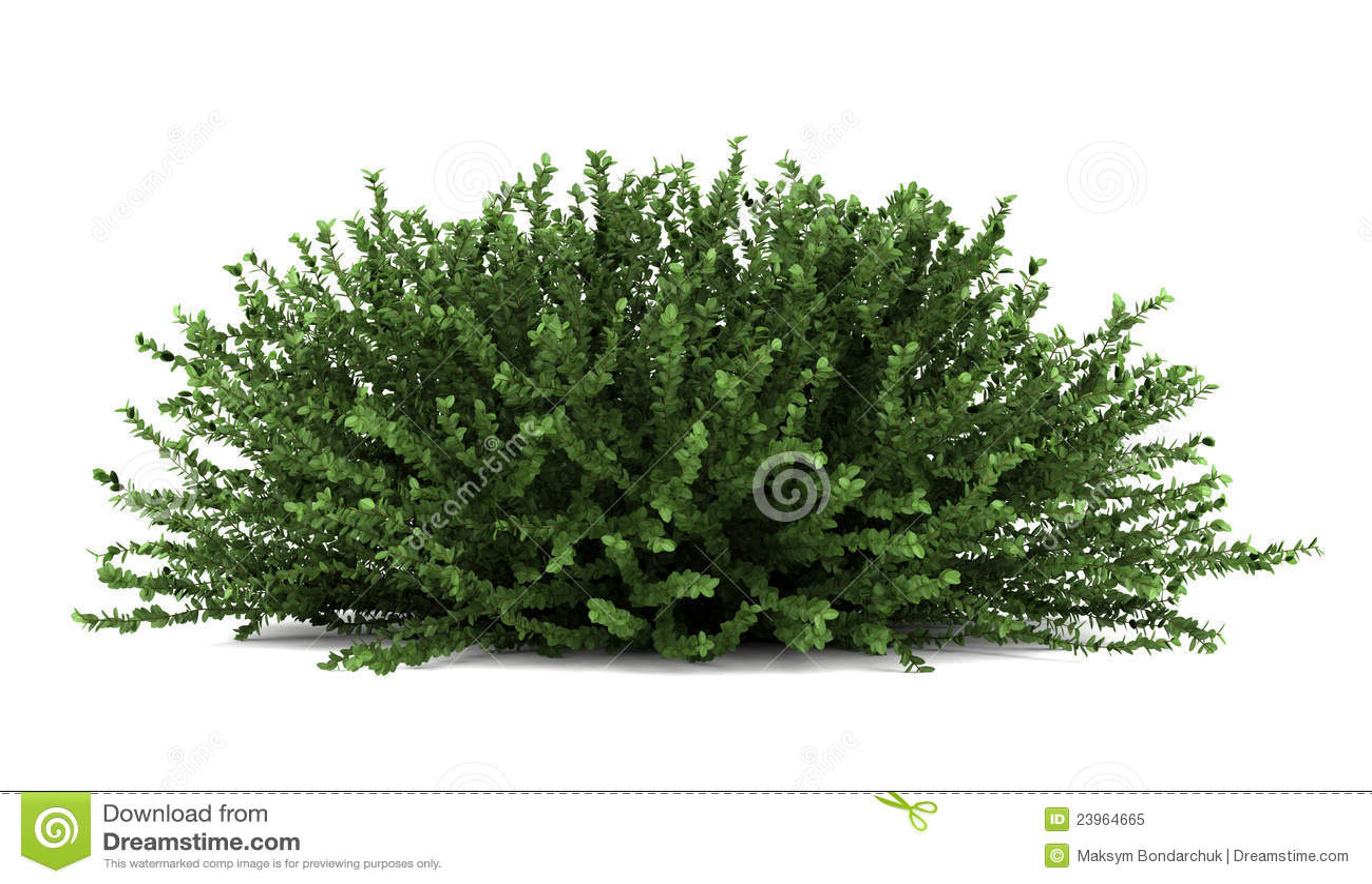 белизна bush красотки изолированная кораллом