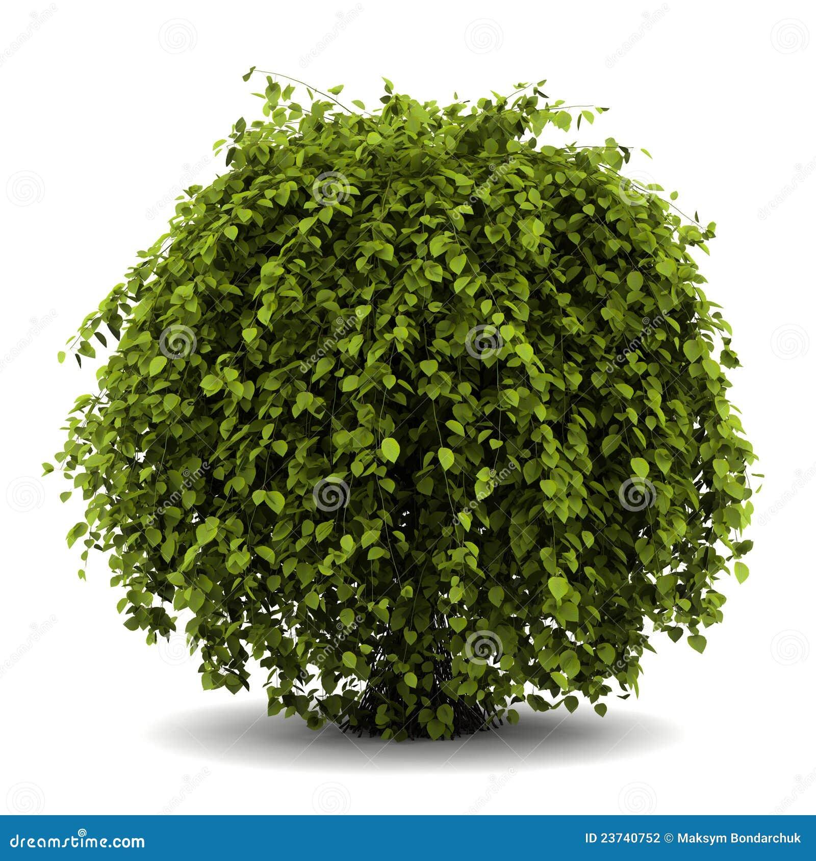 белизна bush общим изолированная hornbeam