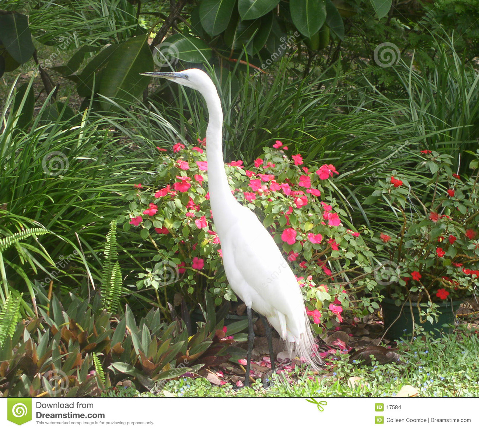 белизна egret