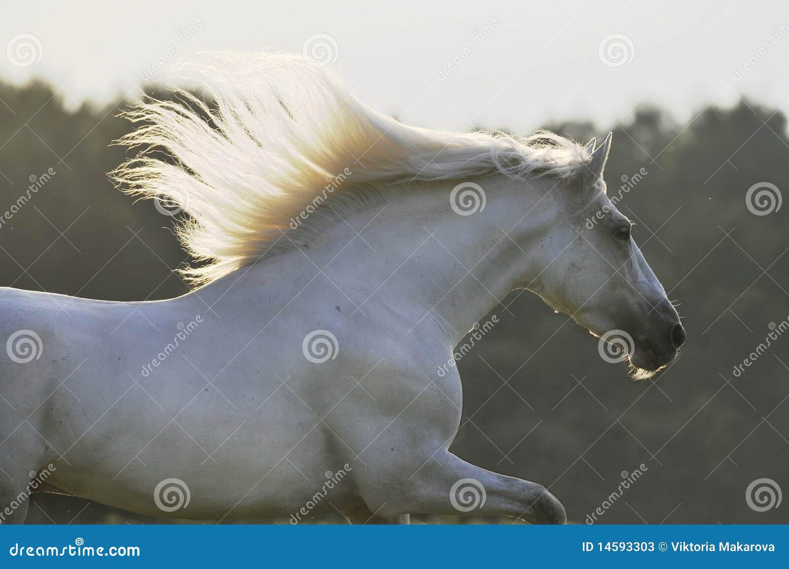 белизна gallop побежали лошадью, котор