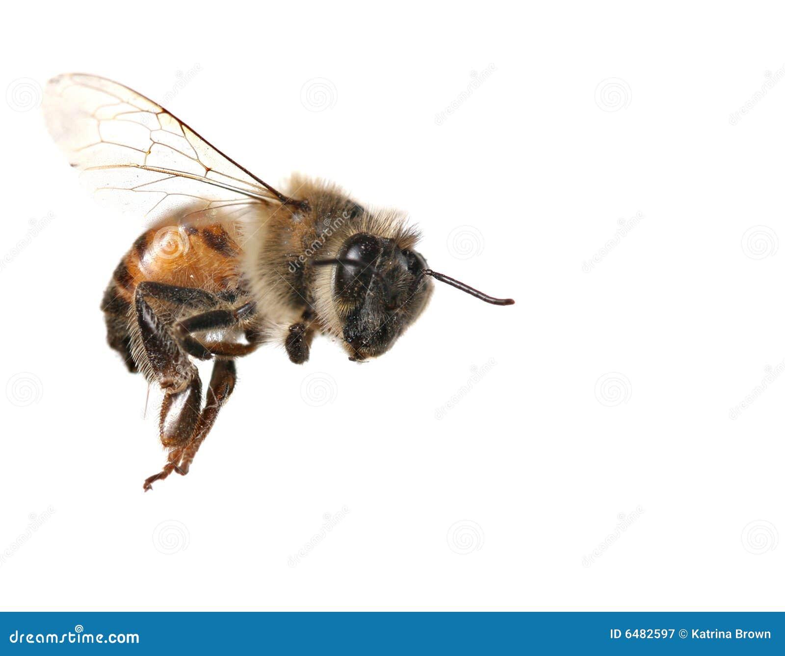 белизна honeybee предпосылки общяя