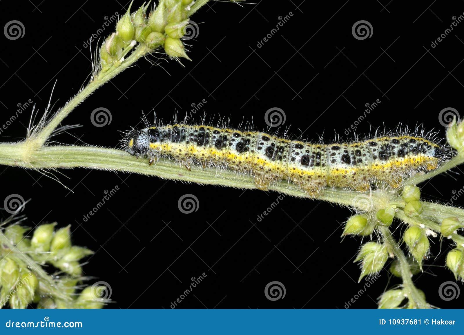 белизна pieris капусты brassicae