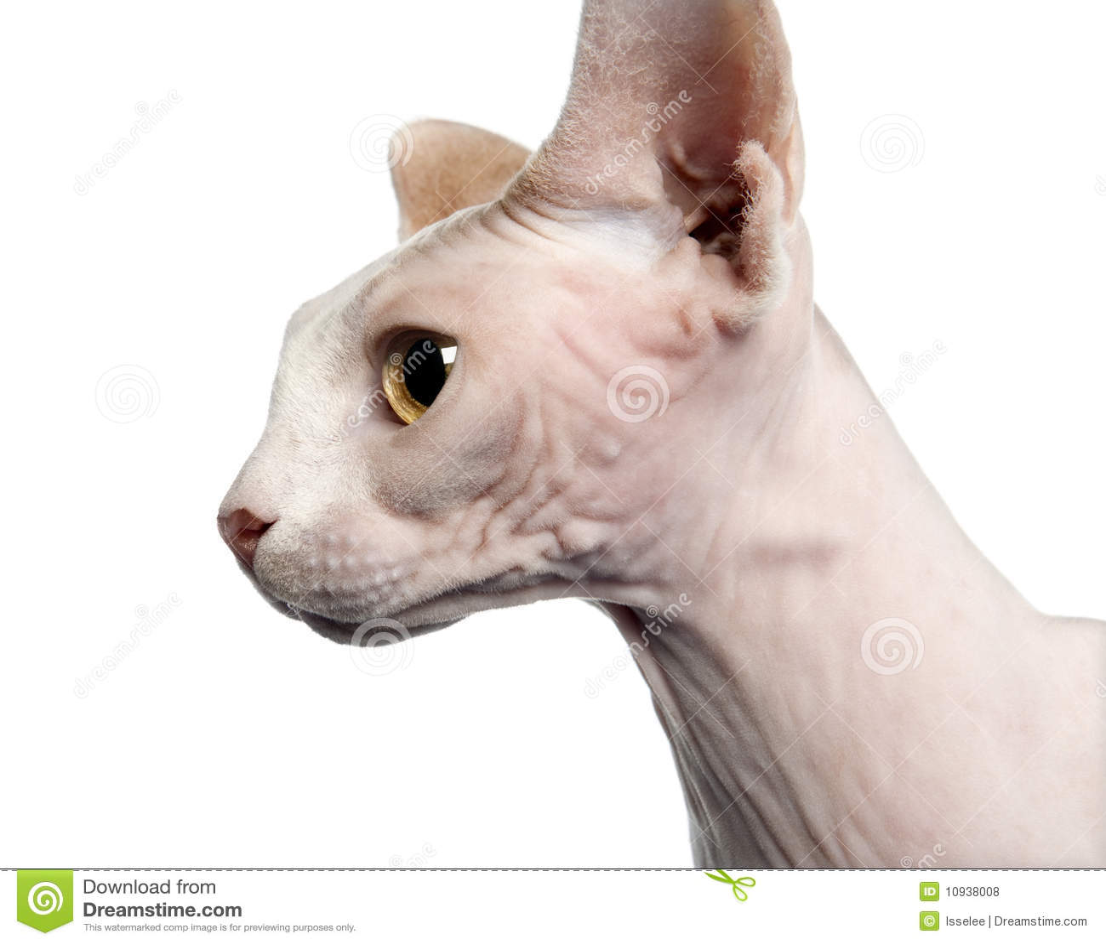 белизна sphynx фронта кота предпосылки