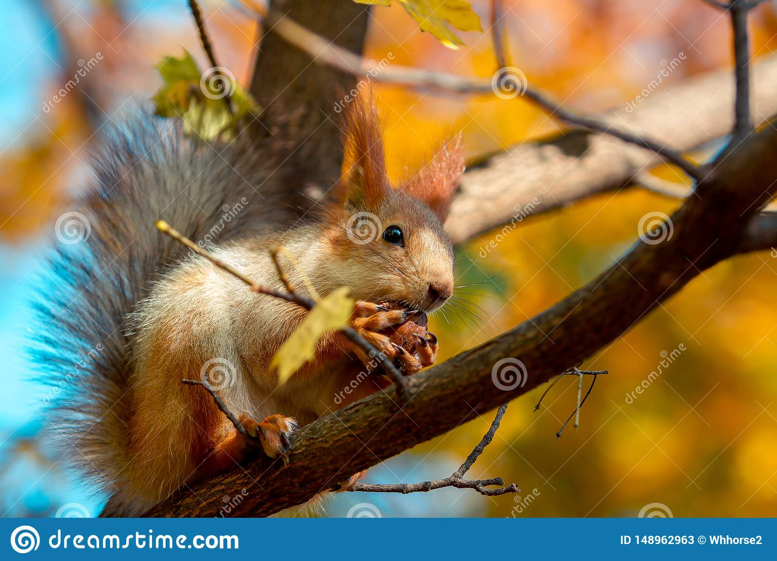 Белка ест грецкий орех на ветви дерева