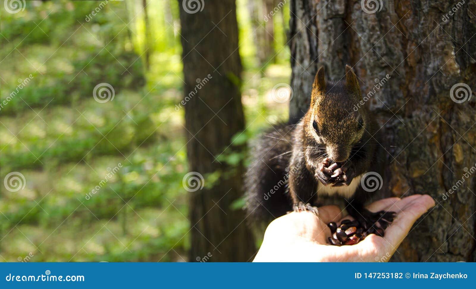 Белка ест Белка принимает гайки от его рук