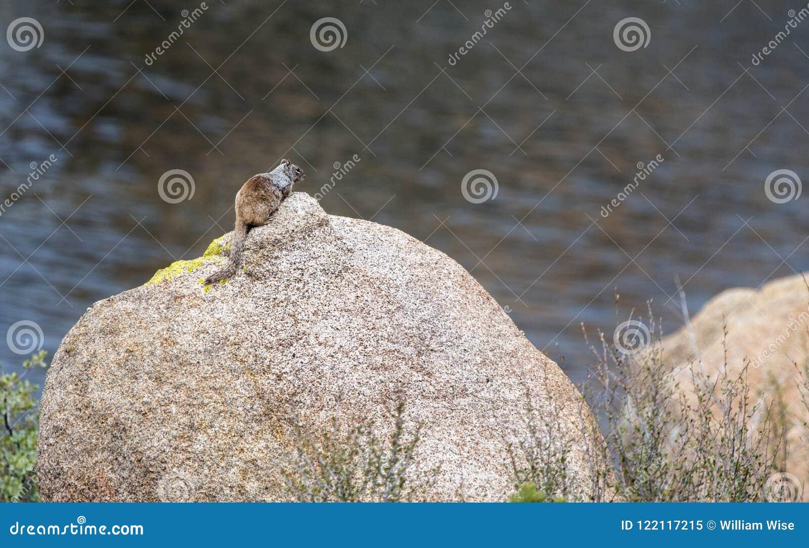 Белка утеса, Dell гранита и парк Riparian Уотсона озера, Prescott Аризона США