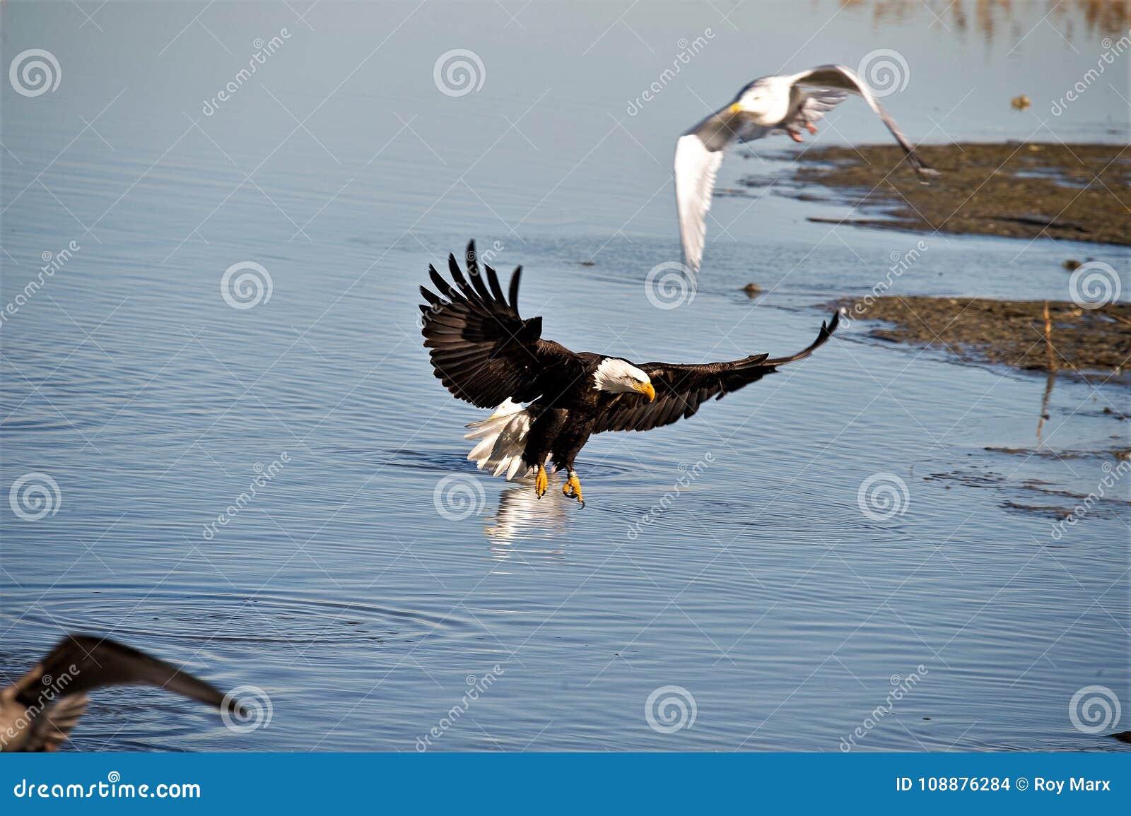 Белоголовый орлан начиная приземлиться в shallowes