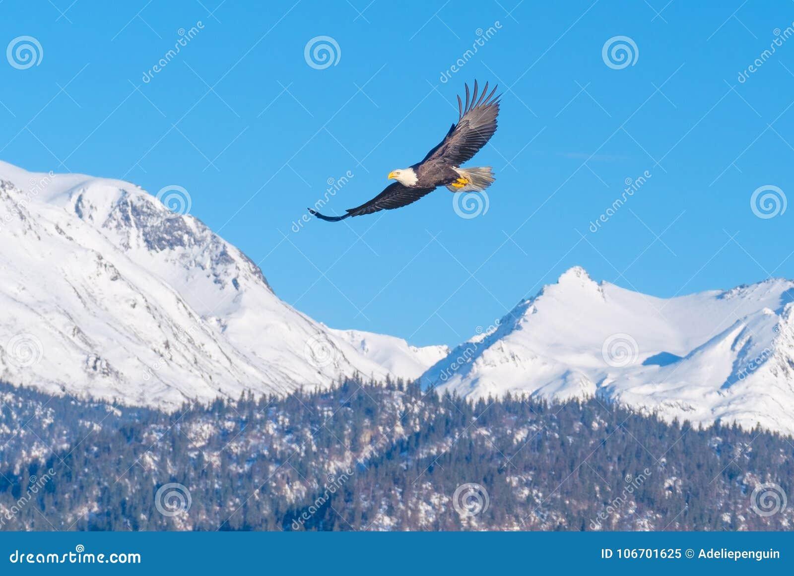 Белоголовый орлан, Снег-покрытые горы, Аляска