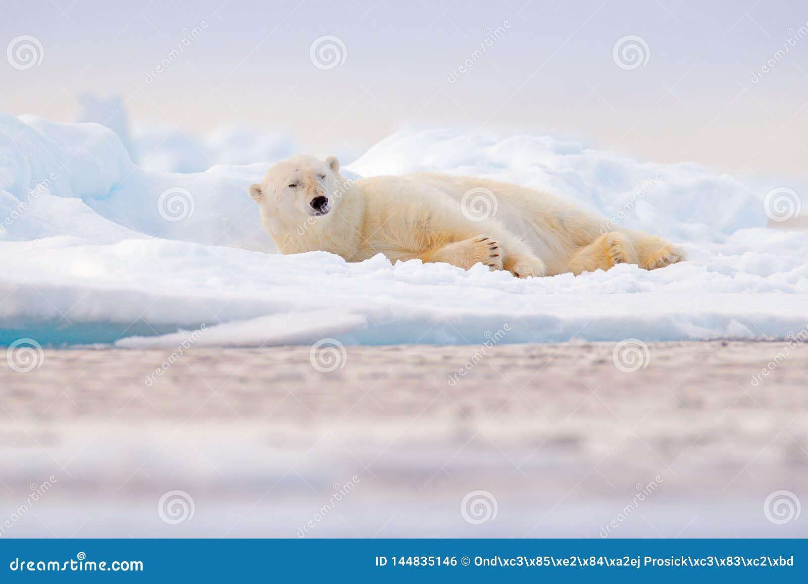 Полярный медведь на крае льда смещения со снегом и воде в море Норвегии Белое животное в среду обитания природы, Свальбард, Европ