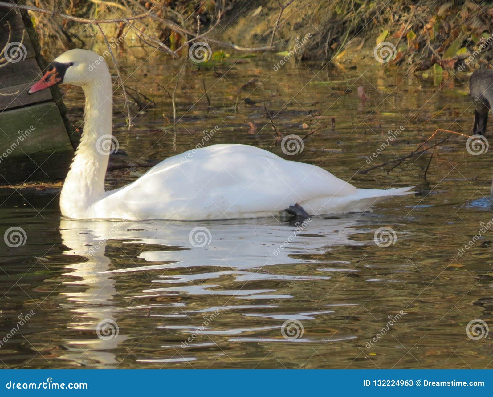 Белое плавание лебедя на конце-вверх реки