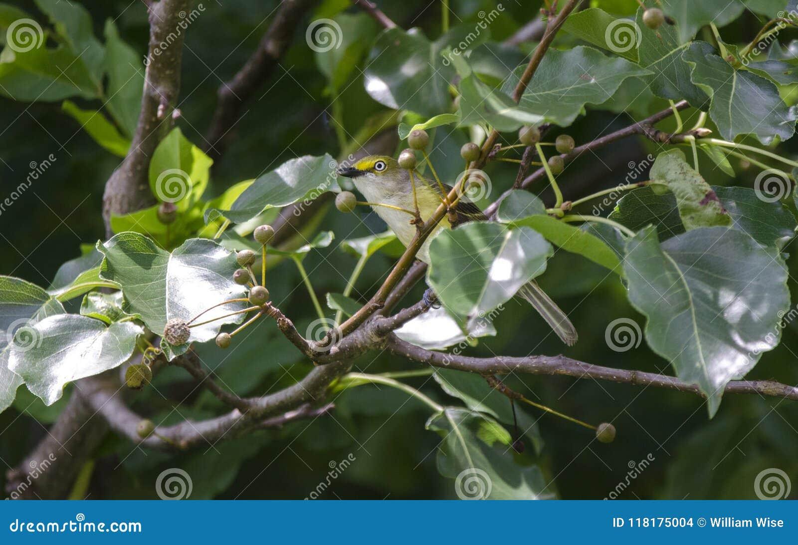 Бело-наблюданная воробьинообразная птица Vireo поя в грушевом дерев дереве Брэдфорда, Georgia США
