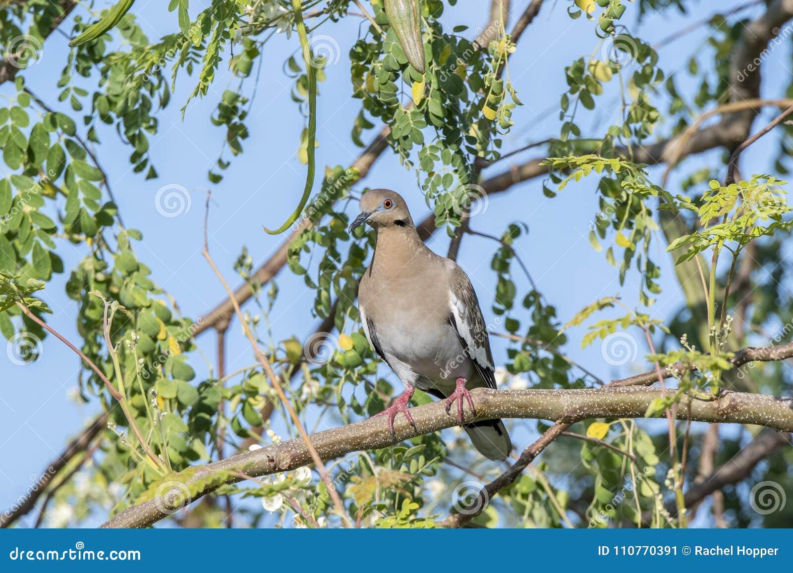 Бело-подогнали asiatica Zenaida голубя садить на насест в дереве