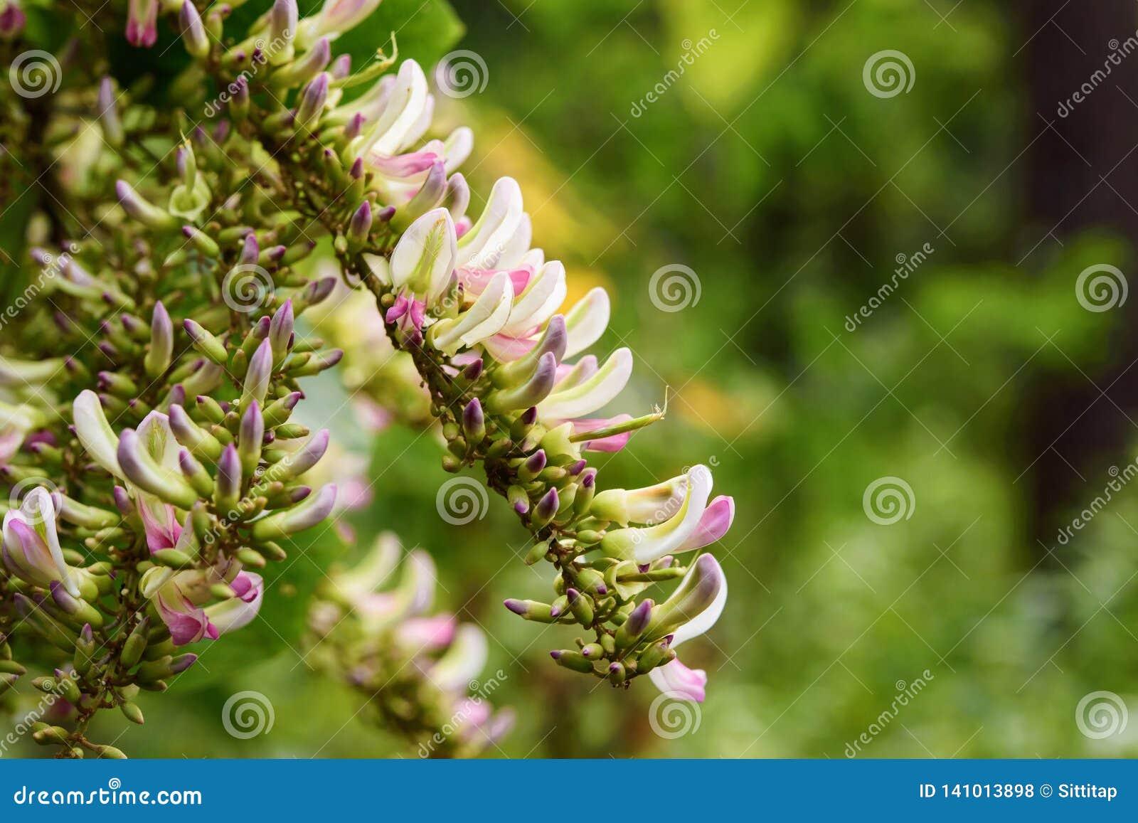 Бело-розовая дикая орхидея в дождевом лесе Таиланда