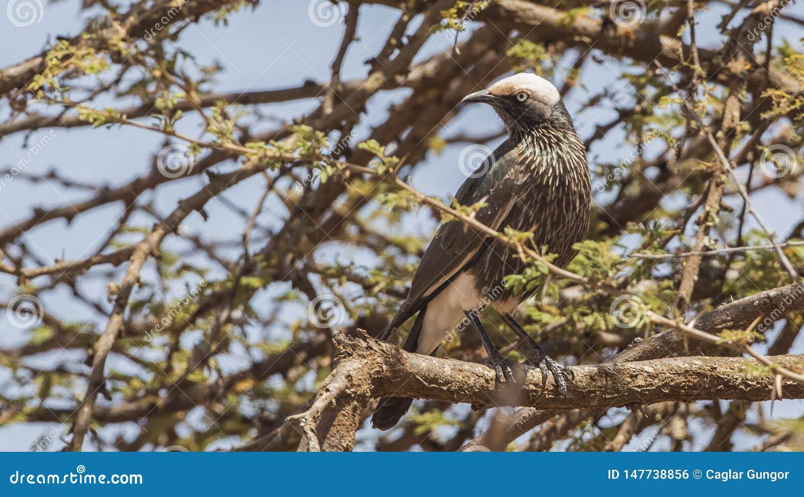 Бело-увенчанный Starling на дереве