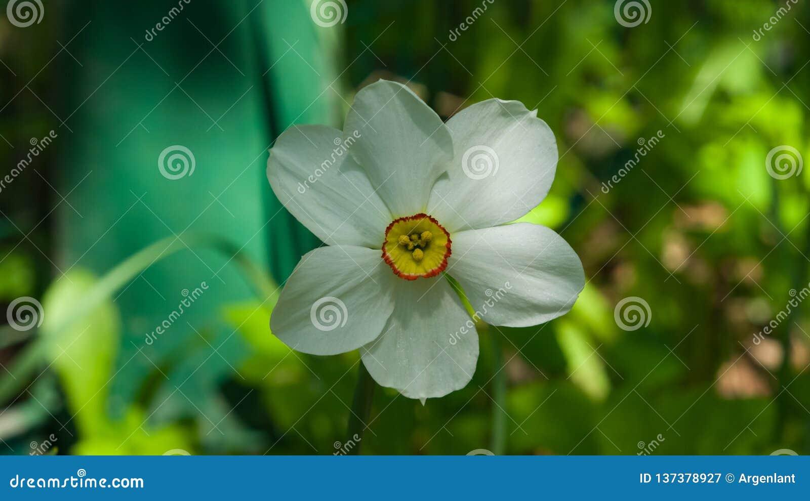 Белые и оранжевые daffodil или narcissus цветут конец-вверх на flowerbed, селективном фокусе, отмелом DOF