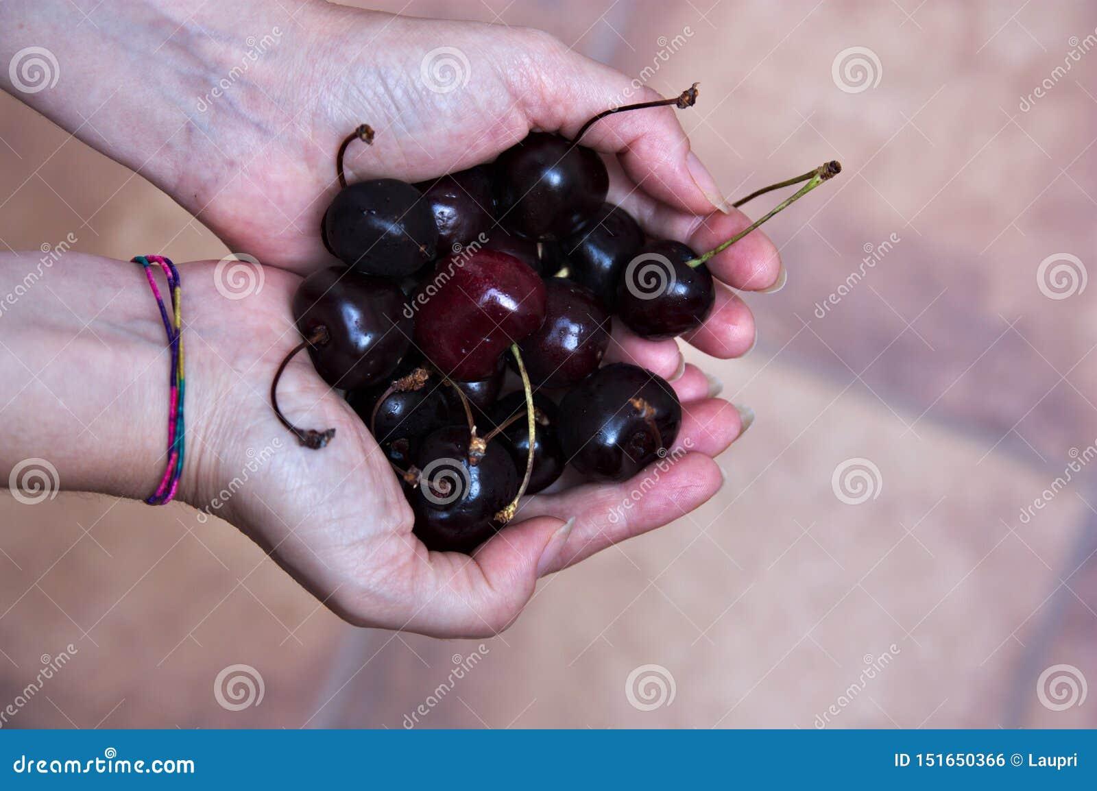 Белые руки держат зрелые вишни