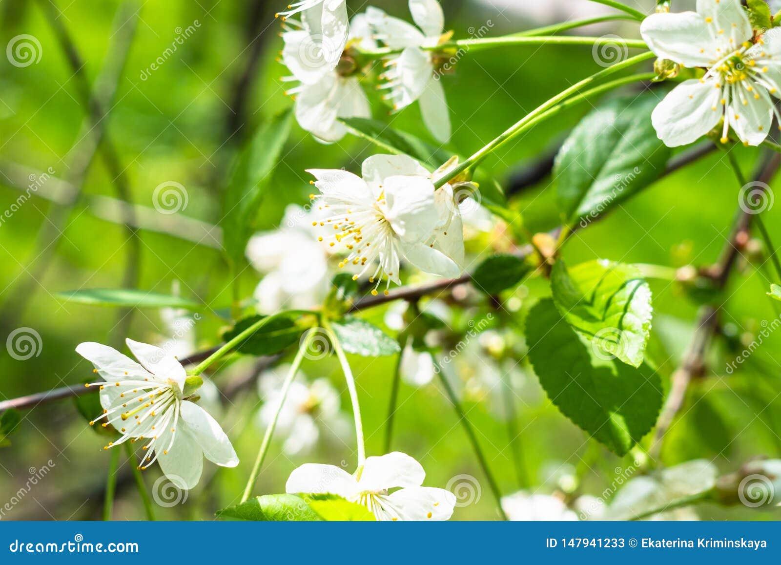 Белые цветения на хворостинах закрывают вверх в зеленом саде
