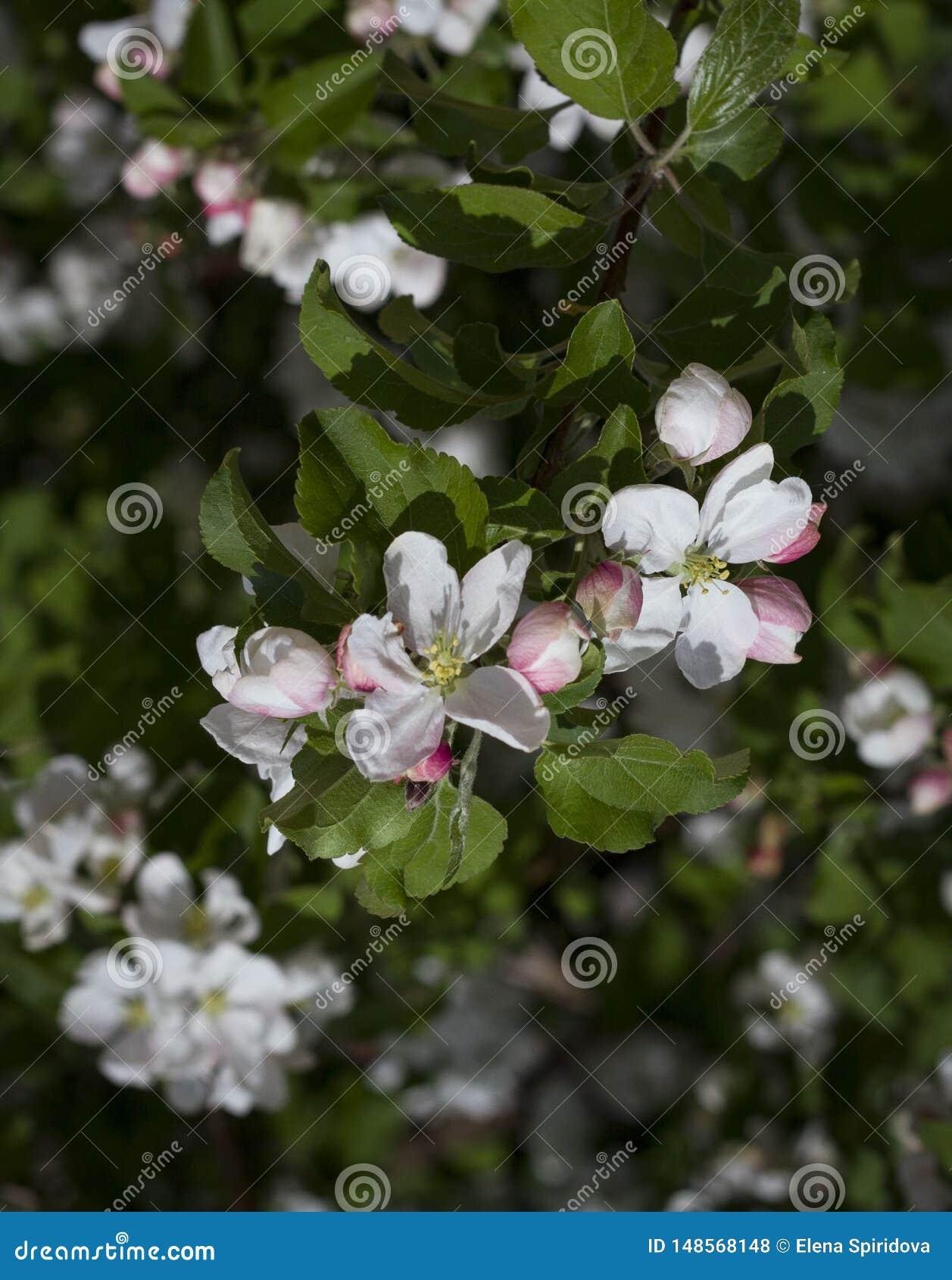 Белые цветки вишни и лист