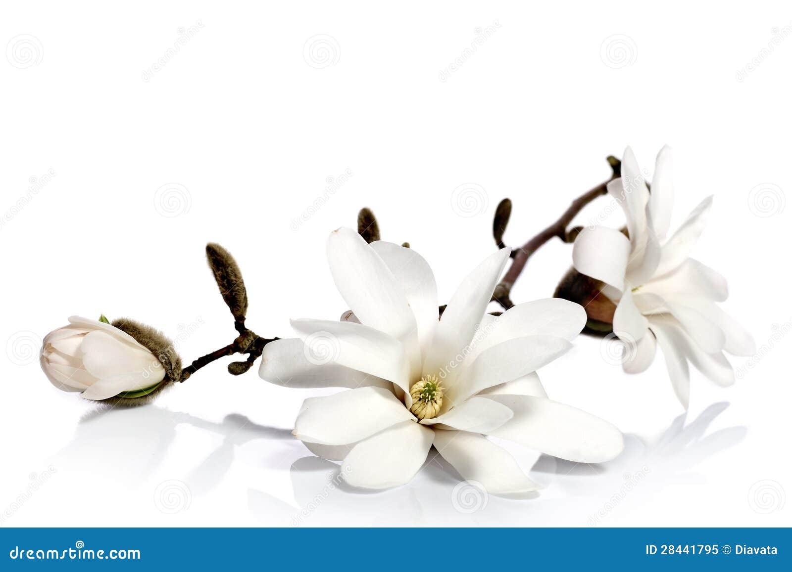Белые цветки магнолии