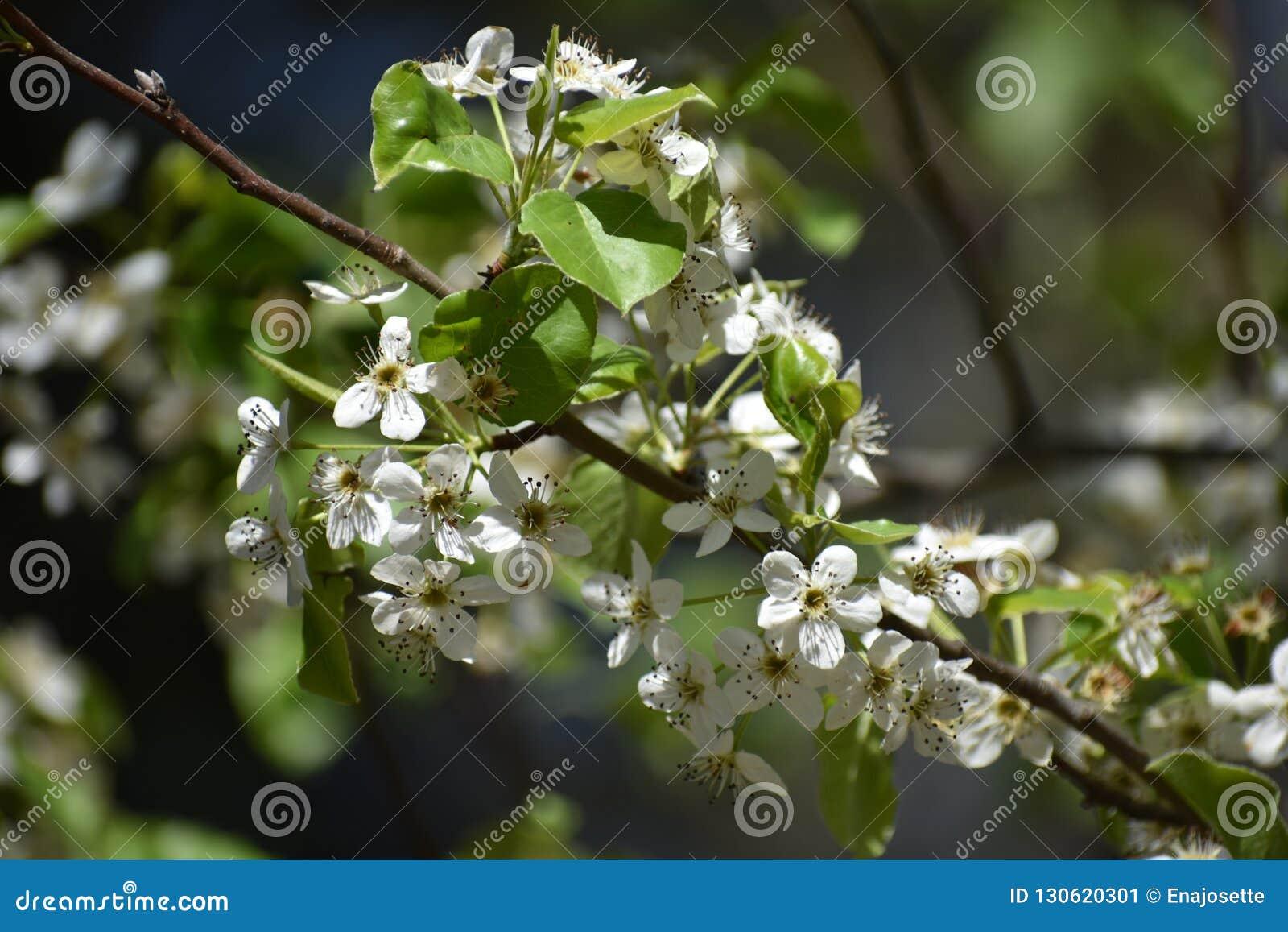 Белые цветки на дереве