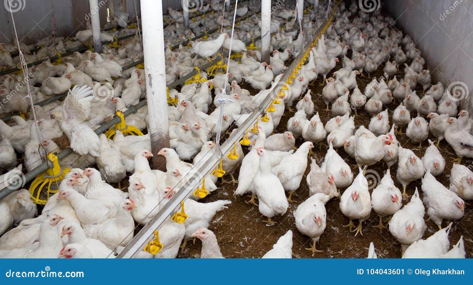 Белые цыплята бройлера на птицеферме