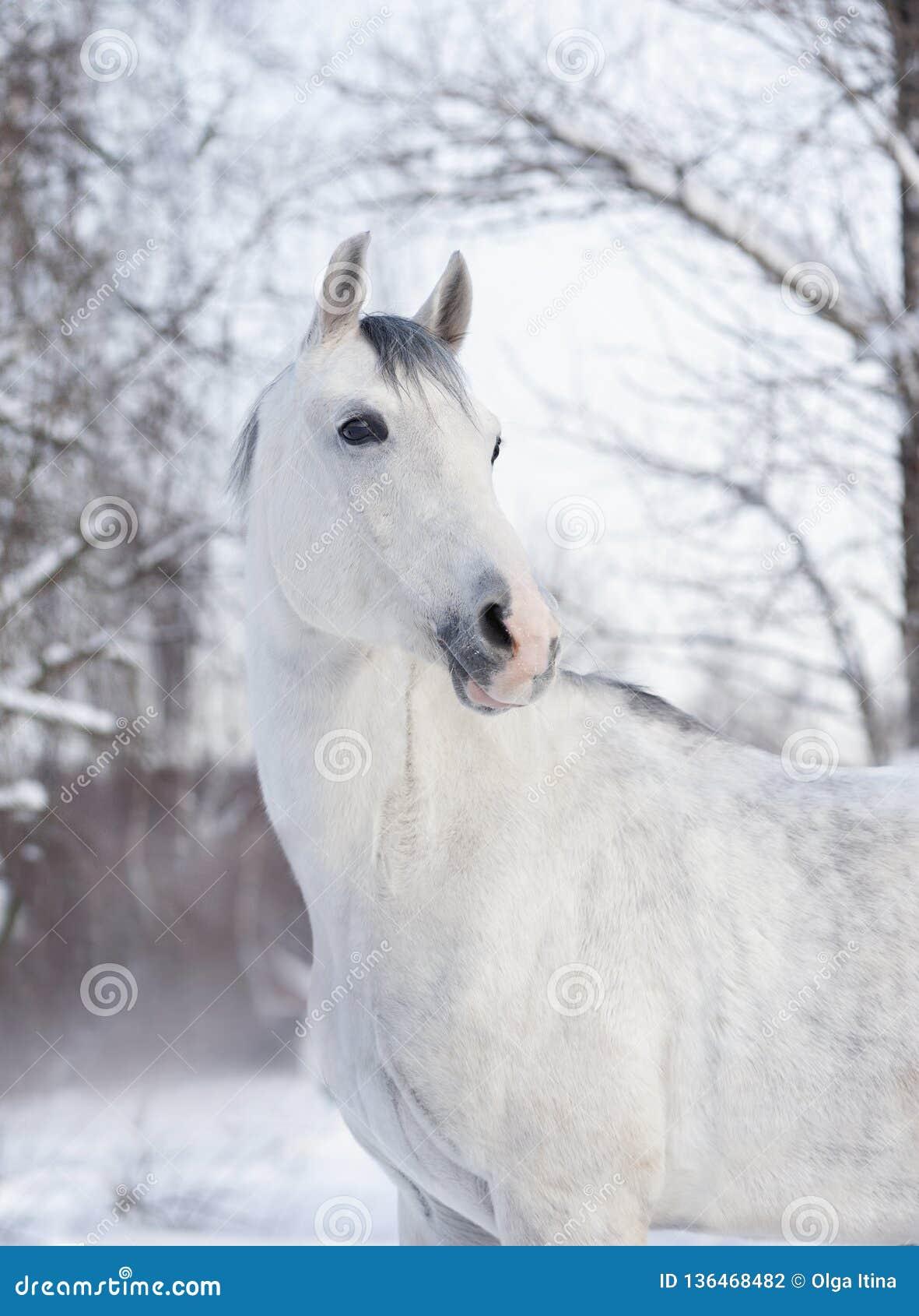 Белый аравийский портрет зимы лошади