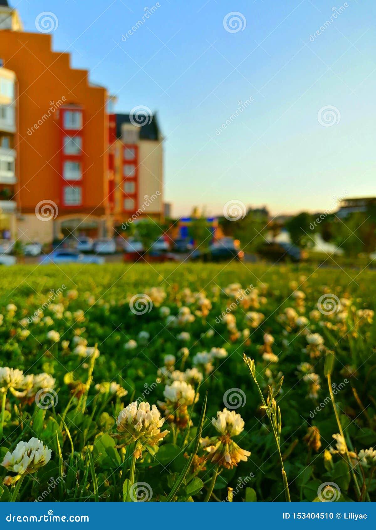 Белый клевер на предпосылке красочных домов