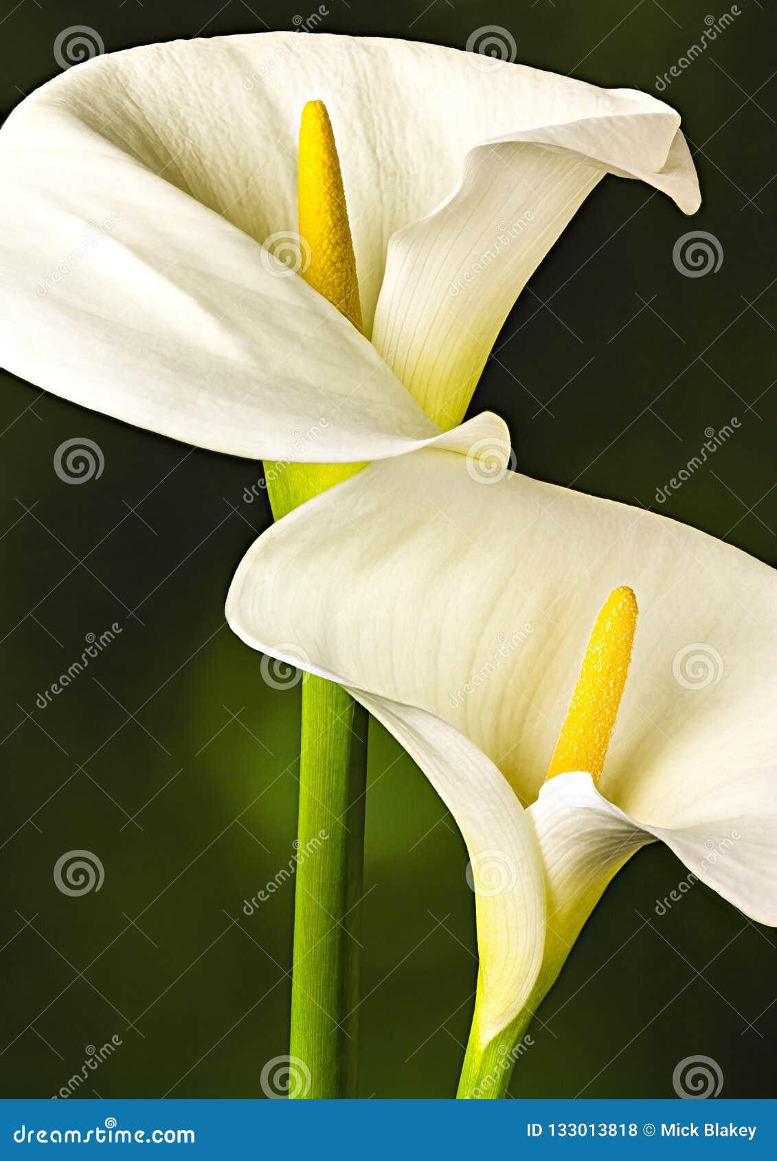 Белый конец лилии Arum вверх