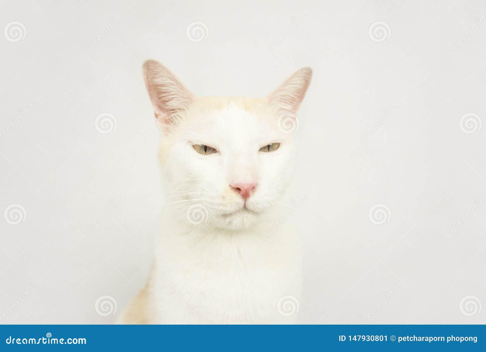 Белый кот с белой предпосылкой