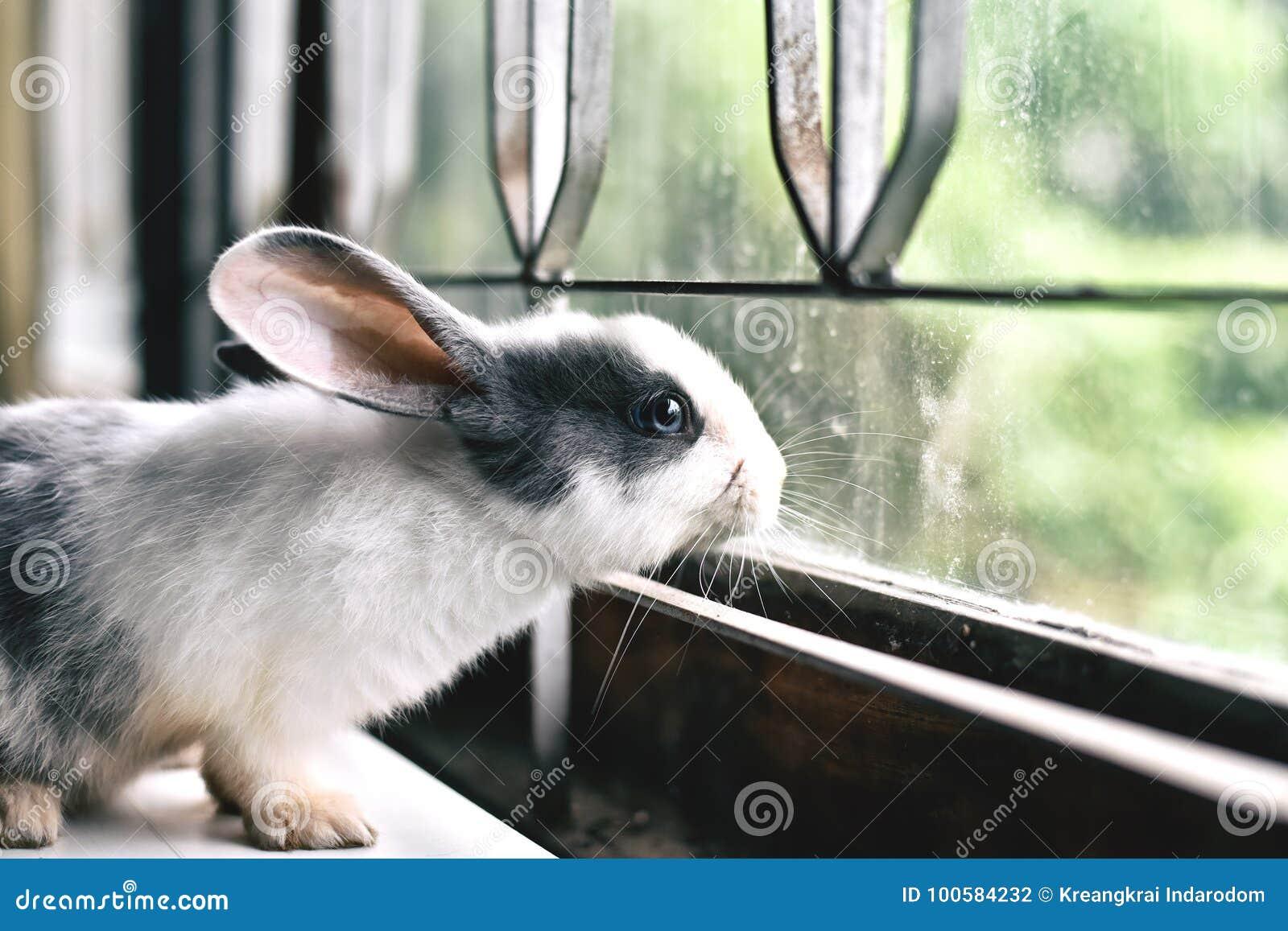 Белый кролик смотря через окно, любознательный маленький зайчик наблюдая вне окно в солнечном дне