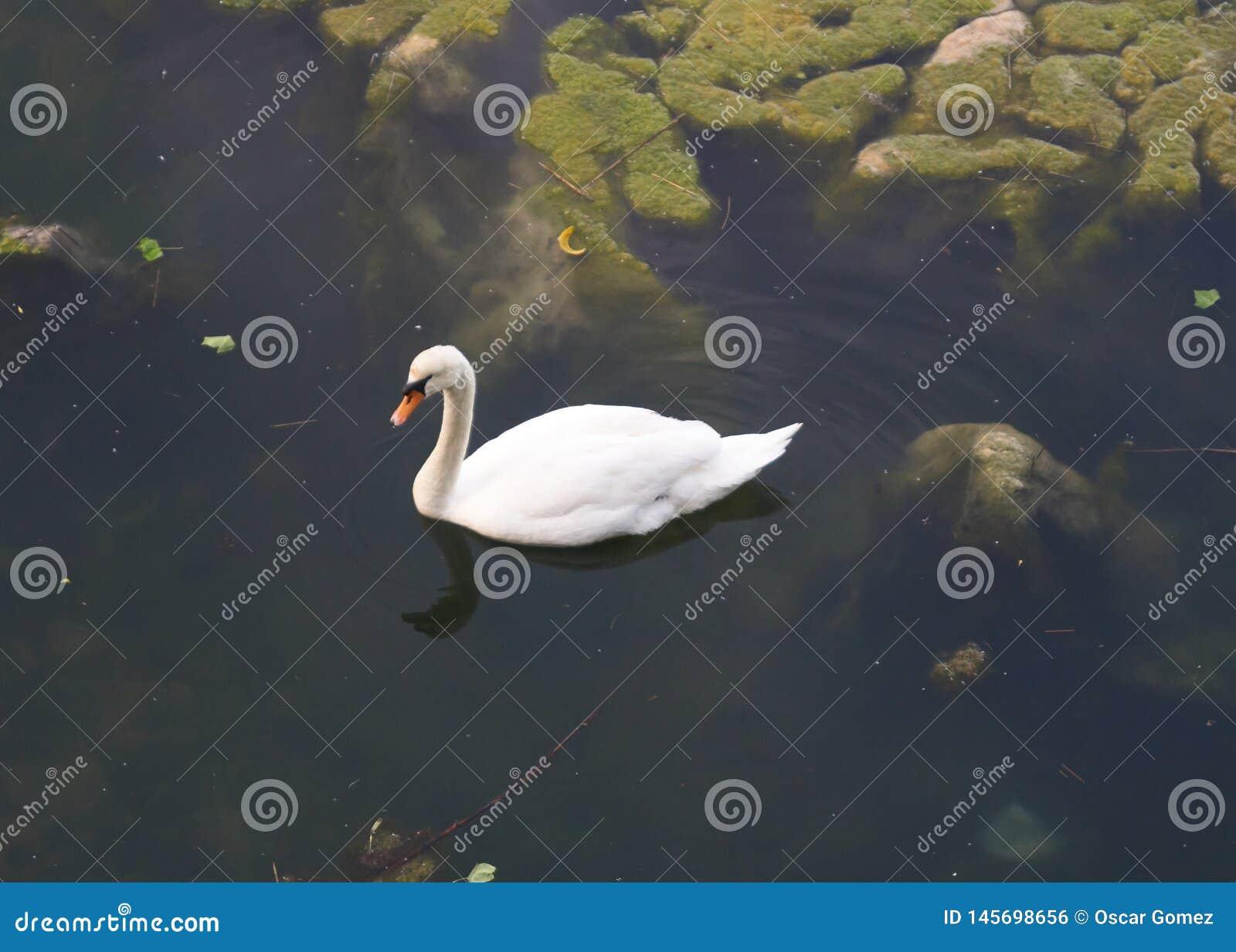 Белый лебедь в Испании в Испании