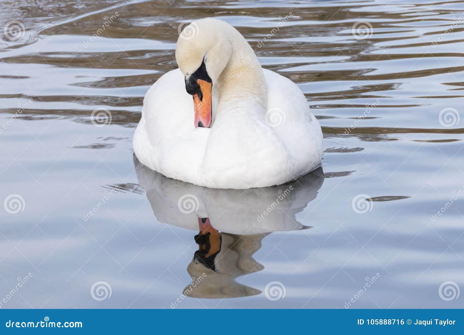 Белый лебедь в ледистом пруде