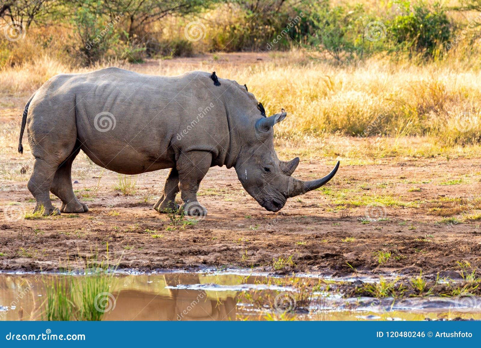 Белый носорог Pilanesberg, живая природа сафари Южной Африки