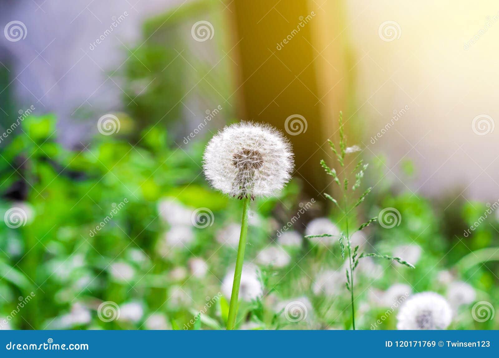 Белый одуванчик на предпосылке травы, взгляде со стороны солнечного света