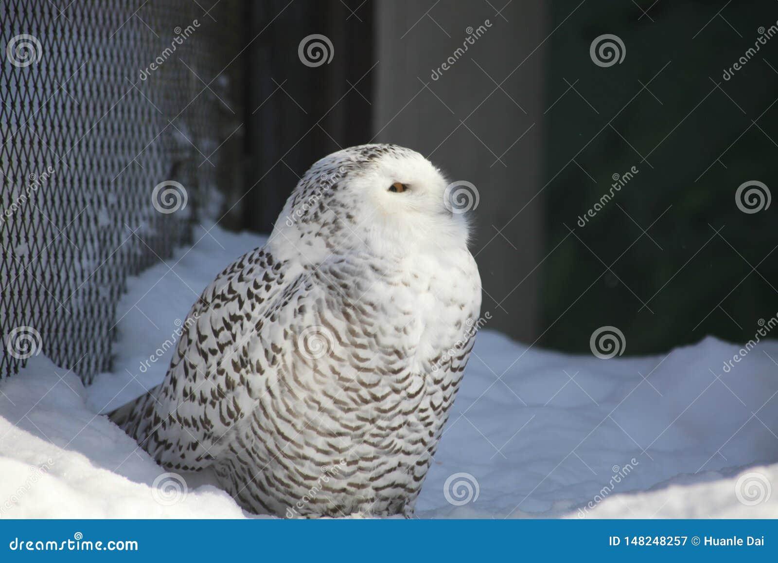 Белый сыч в зоопарке Аляски