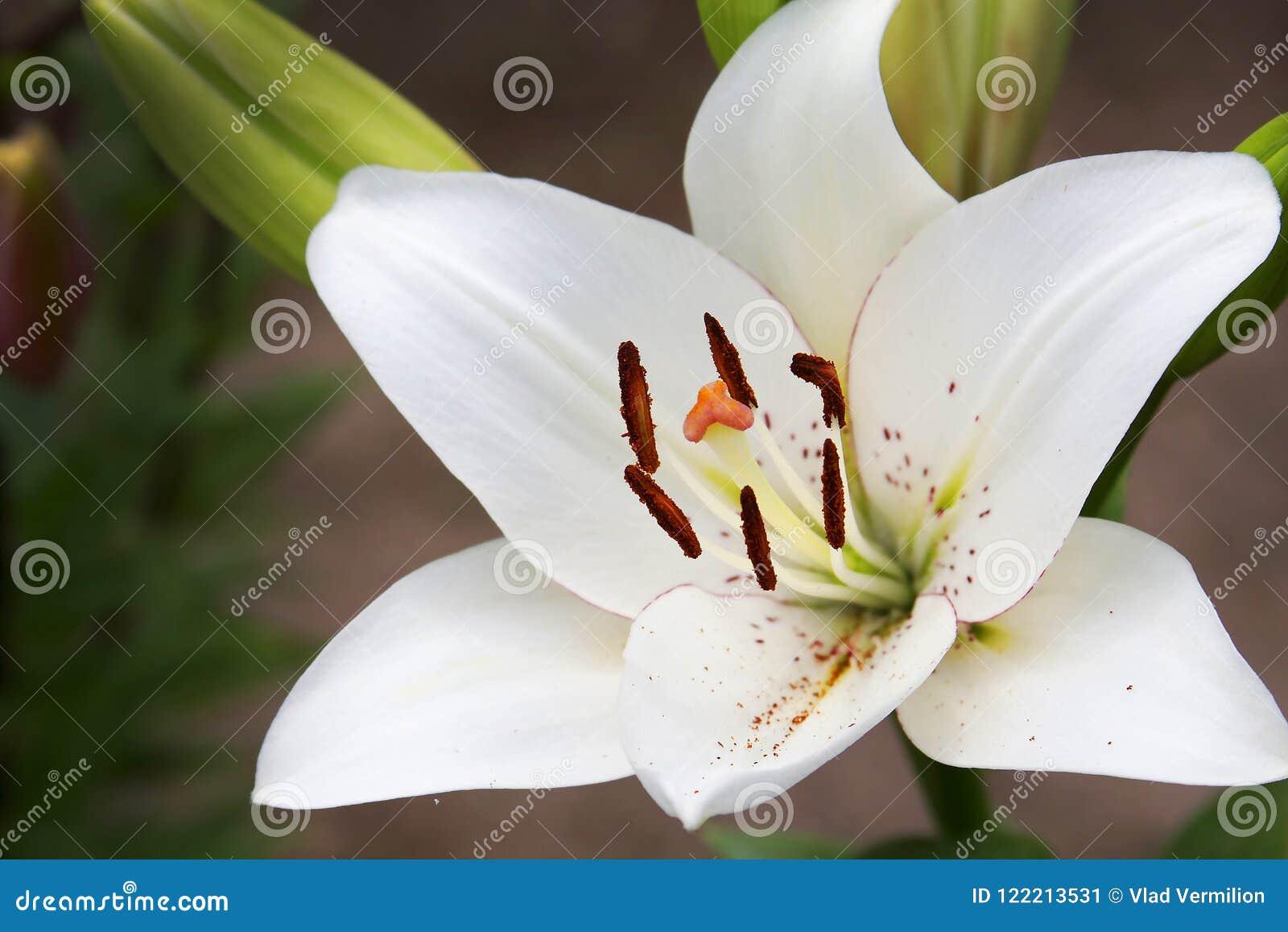 Белый цветок lilly с зеленой предпосылкой позади
