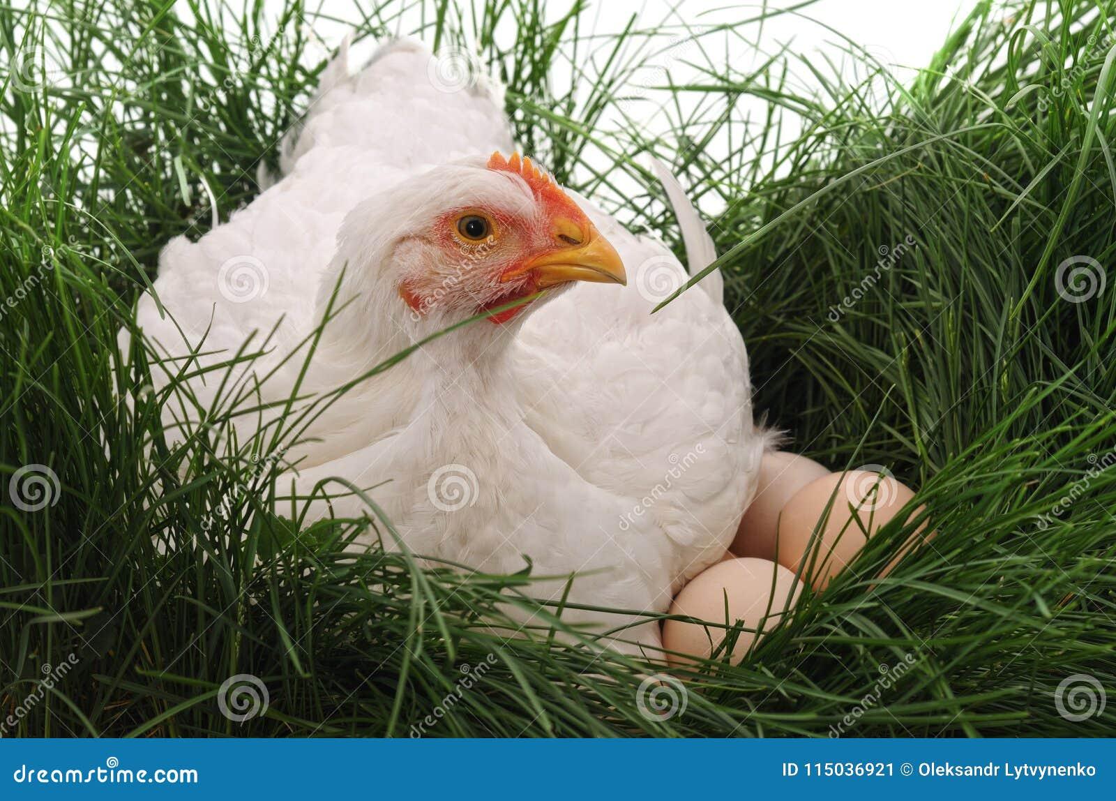 Белый цыпленок на траве