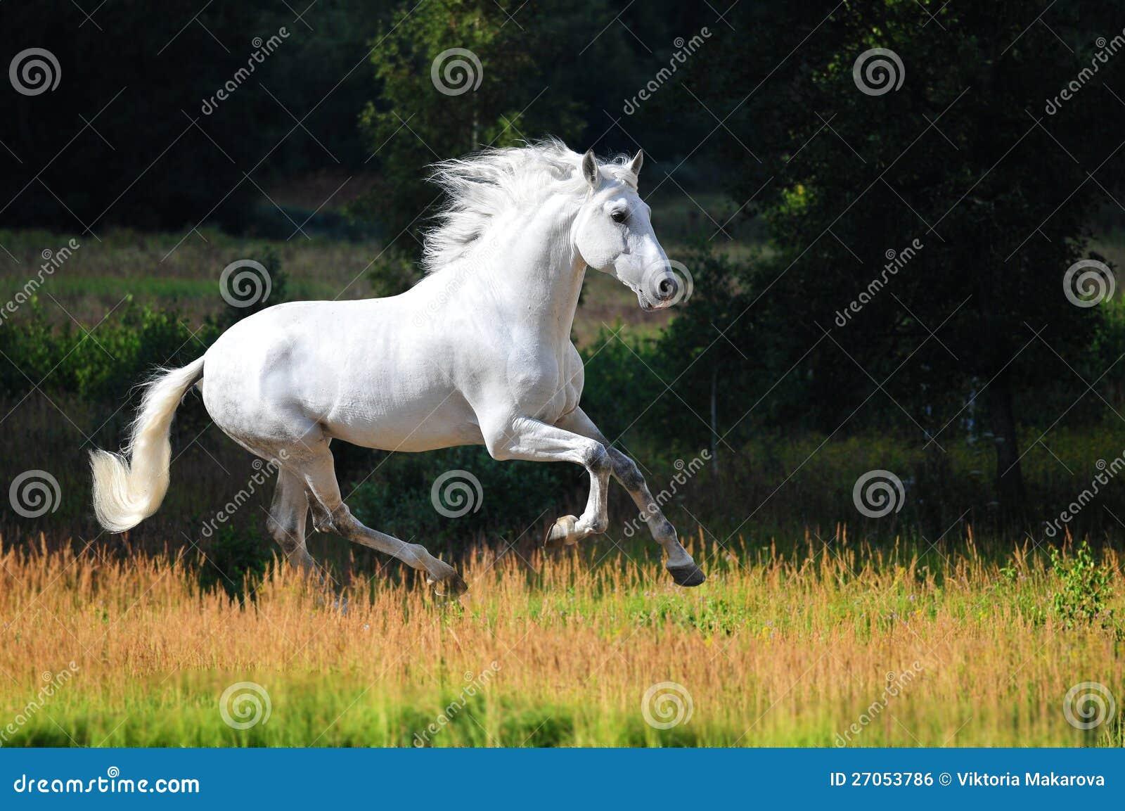 Белый Andalusian gallop бегов лошади в лете