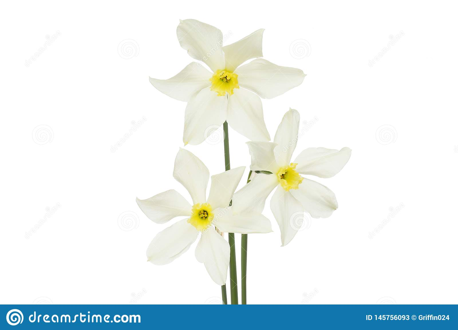 3 белых daffodils