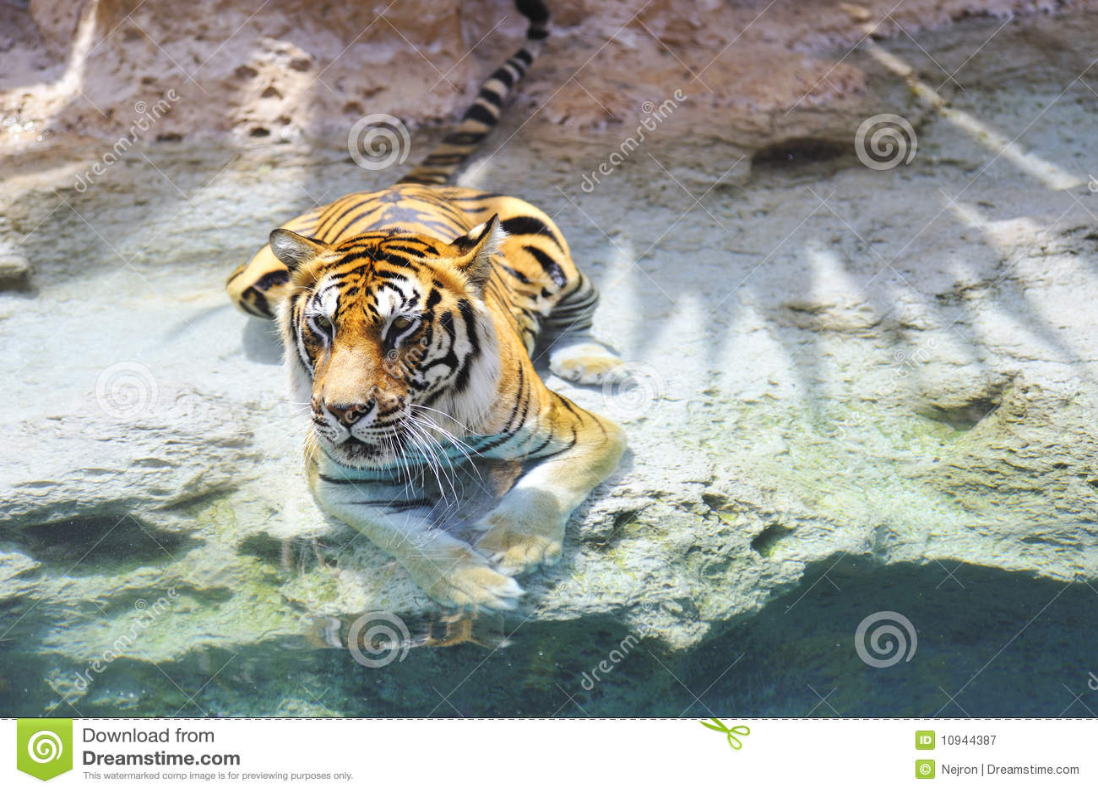 Бенгалия около воды тигра