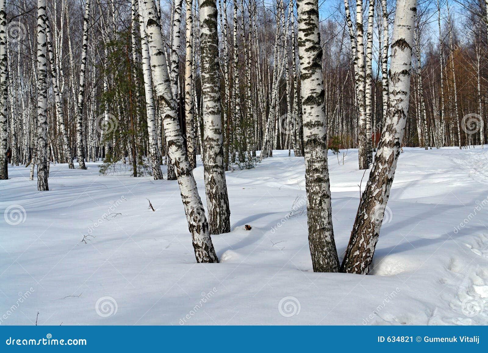 Download березовая древесина стоковое изображение. изображение насчитывающей остальные - 634821