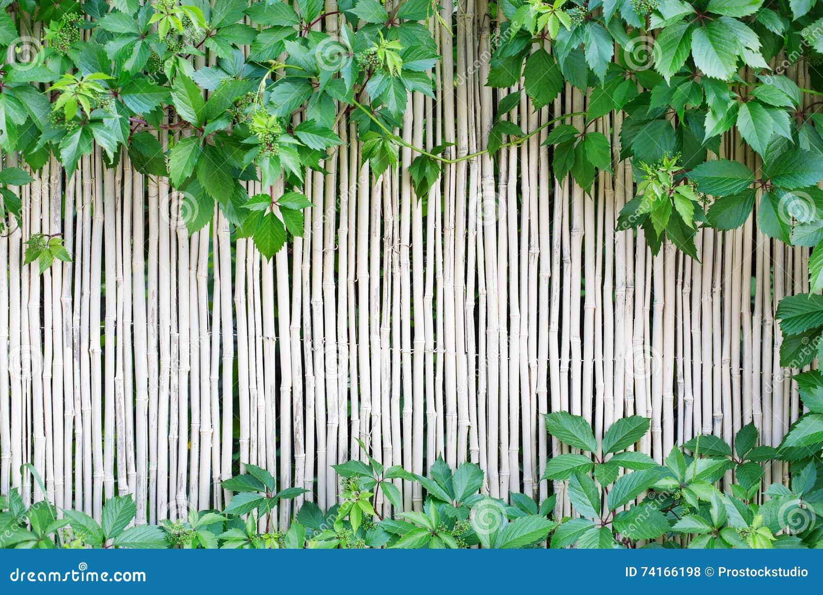 Белая бамбуковая предпосылка текстуры загородки с зеленой виноградиной выходит