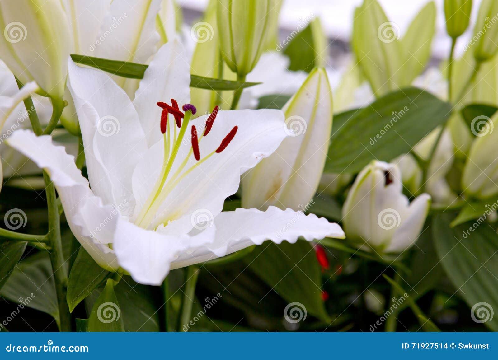 Белая лилия в саде
