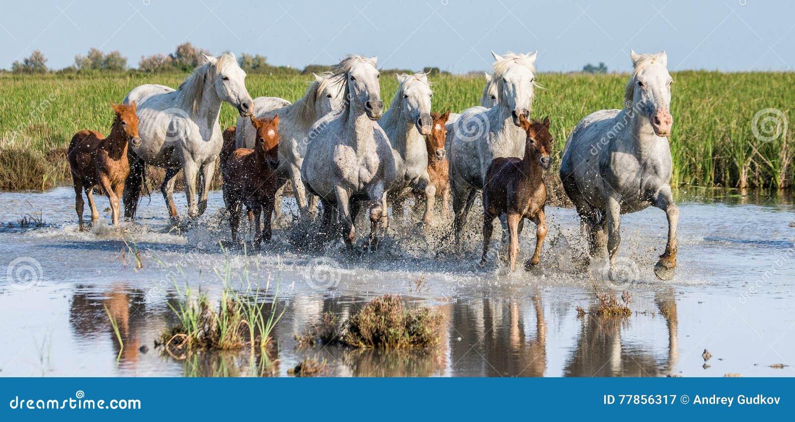 Белая лошадь Camargue с осленком бежит в заповеднике болот camargue de parc регионарное Франция Провансаль